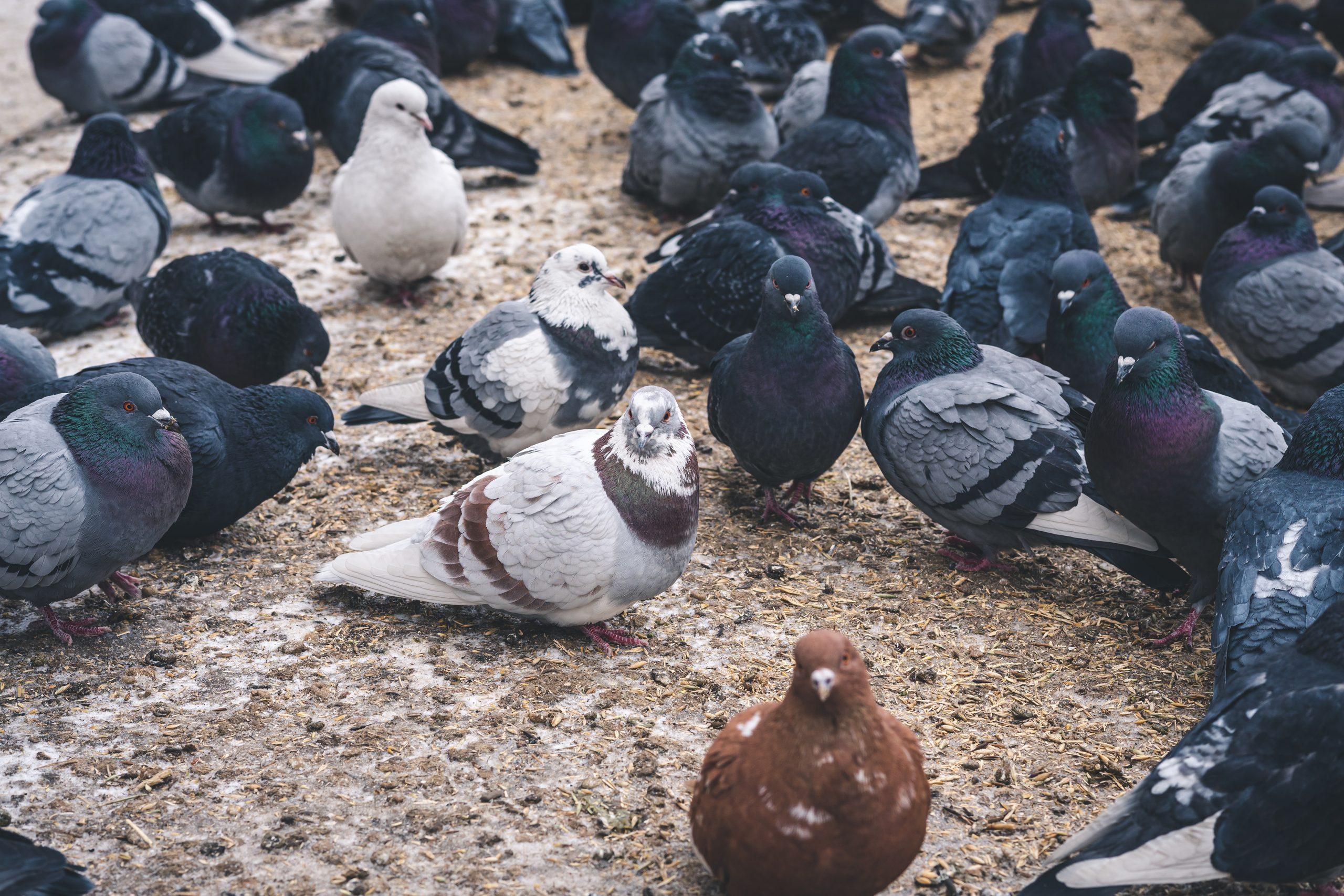rimozione guano piccioni gruppo di piccioni a terra